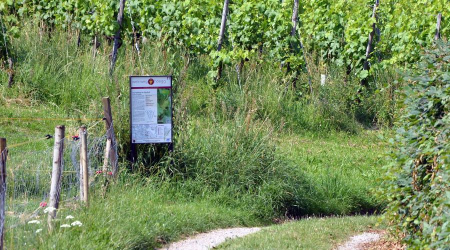 Weinweg Höngg Tafel 11
